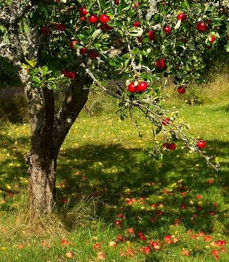 psomiadouanthi.com apple tree